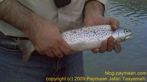 a 39 cm brown trout, with black and red dots, and almost green top
